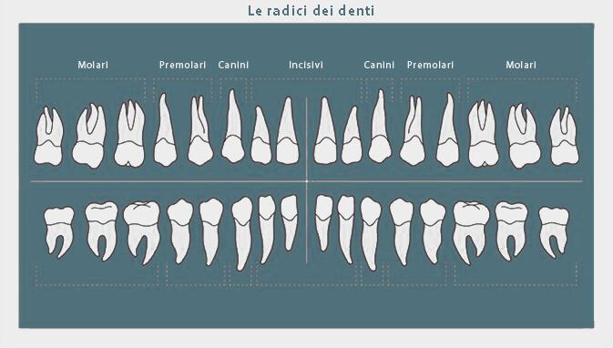 Forma e numero delle radici dei denti permanenti